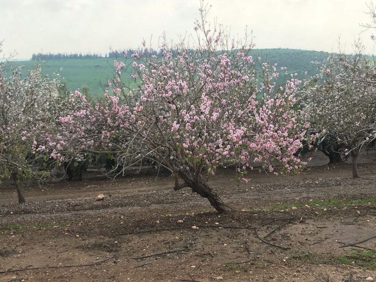 שקדיה בעמק יזרעאל