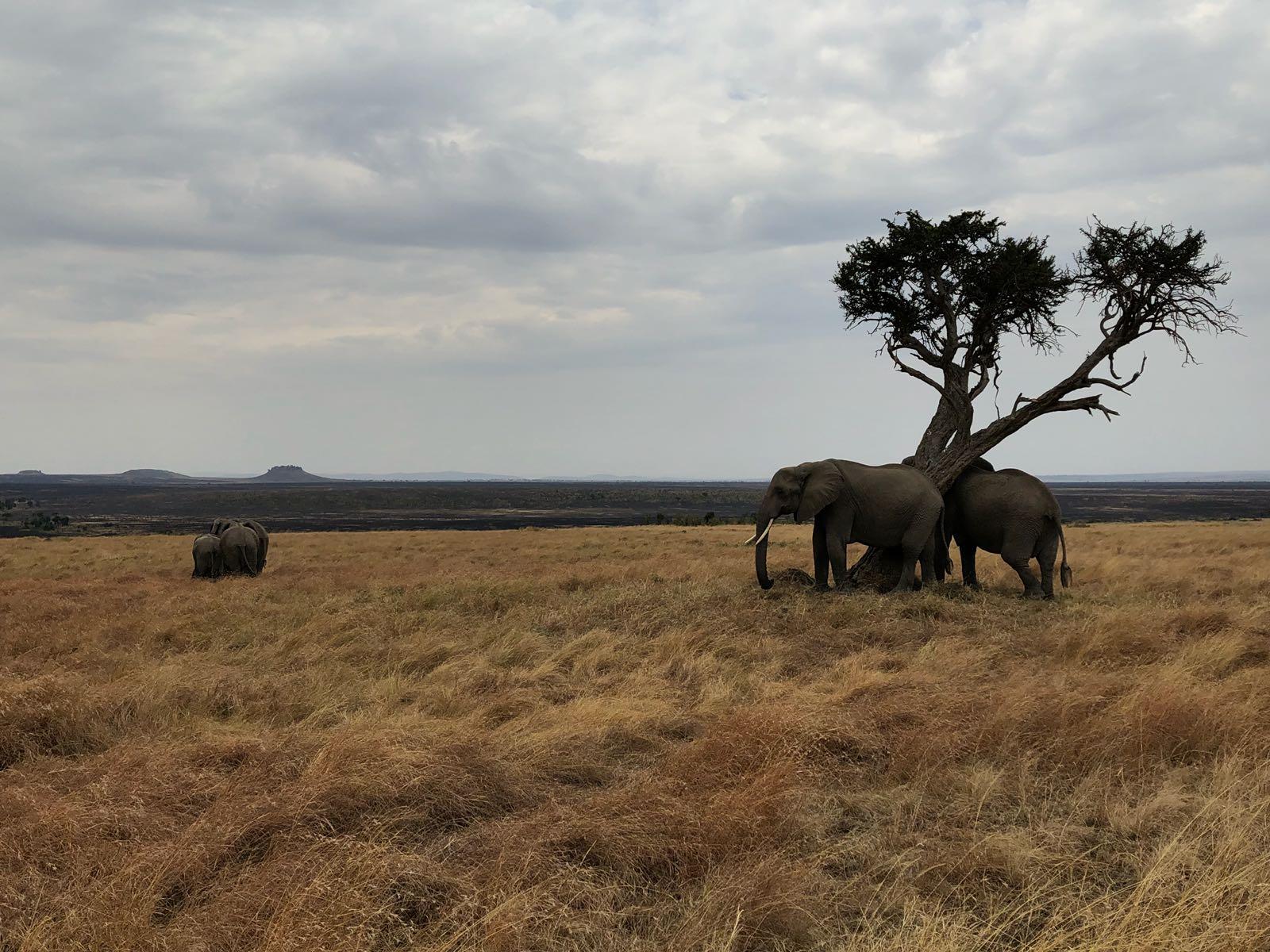 פילים במדבר בקניה