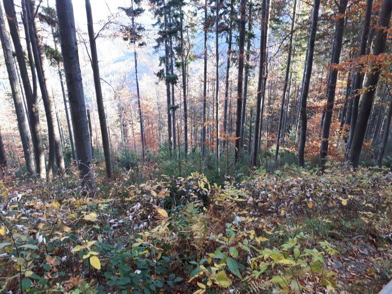 יער בפולין