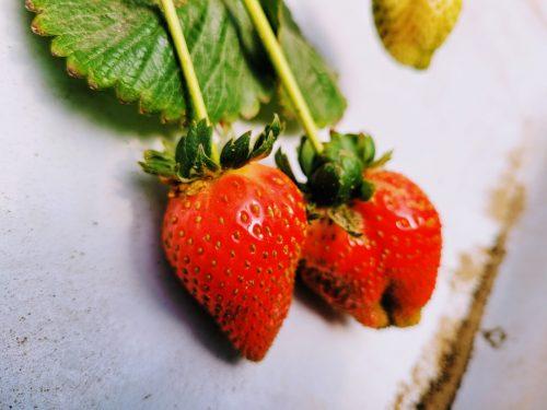 רוח שתות קטיף תותים