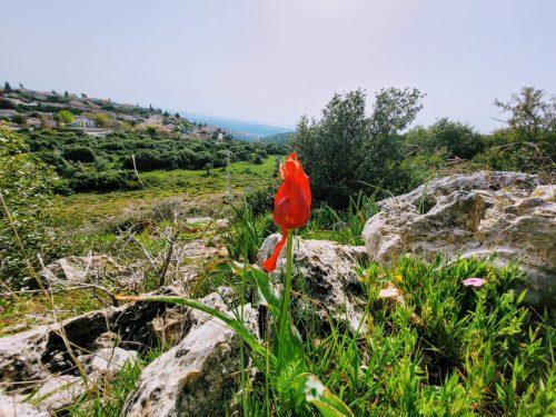 פריחות בהרי המנשה ועמק חפר